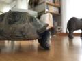 シュライヒ 大カメ
