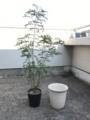 シマトネリコ 植え替え
