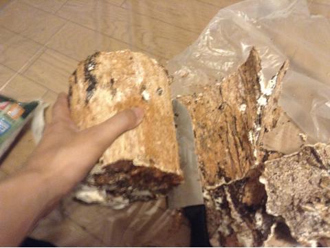 カワラ材産卵木の木の皮を削る