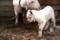 Child goat BY kzfe