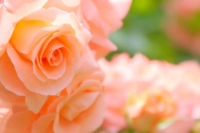 薄紅色のバラ