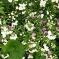 白モッコウバラと普賢象桜