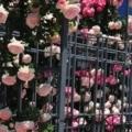 五月は薔薇色