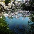 京都・桜Ⅱ/サイクリング① /リフレクション
