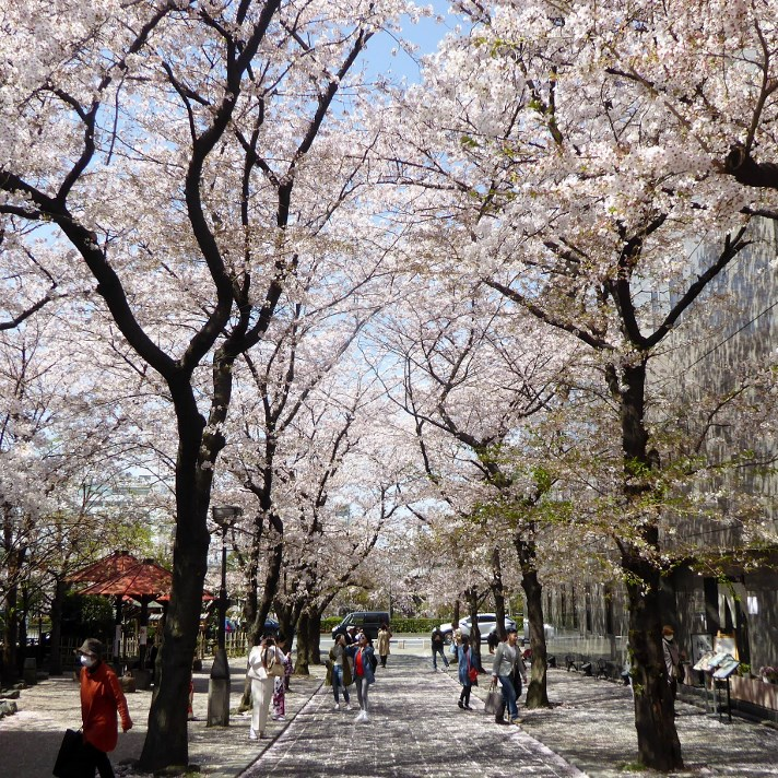 京都・桜Ⅱ/サイクリング②/訪日外国人