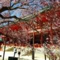 京都・桜Ⅱ/サイクリング④/左近の桜