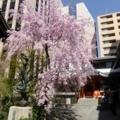 京都・桜Ⅱ/サイクリング⑧「六角堂頂法寺」
