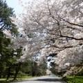 京都・桜Ⅱ/サイクリング⑩/京都御苑の桜