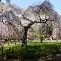京都・桜Ⅱ/サイクリング12