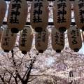 京都・桜Ⅱ/サイクリング14/平野神社