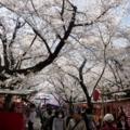 京都・桜Ⅱ/サイクリング15/平野神社の桜茶屋