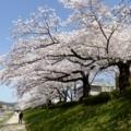 京都・桜Ⅱ/サイクリング16/高野川東岸のソメイヨシノ