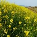 三島江の黄色い絨毯