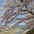 芥川桜堤公園の桜