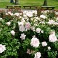 薔薇園の薔薇