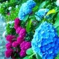 17時の紫陽花/ジョギング6月16日