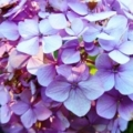 今日も紫陽花/接写
