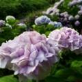 雨後の紫陽花/ジョギング6月23日/抜きつ抜かれつ