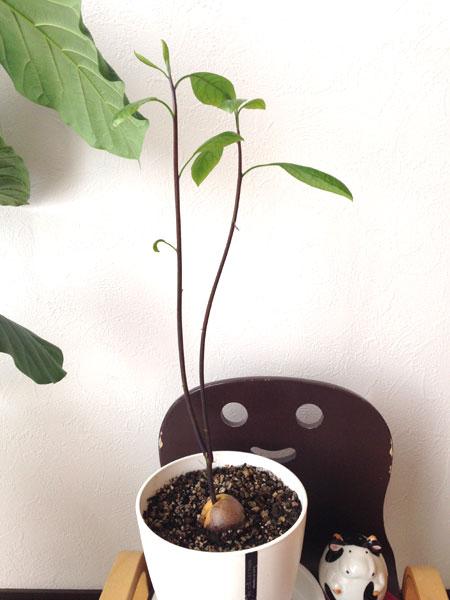 アボカド栽培3か月後