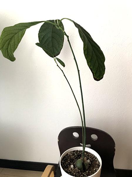 アボカド栽培10か月後