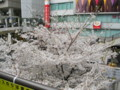立川駅前ペデストリアンデッキからみた桜