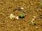 ゴキヅルの芽が出た1-2