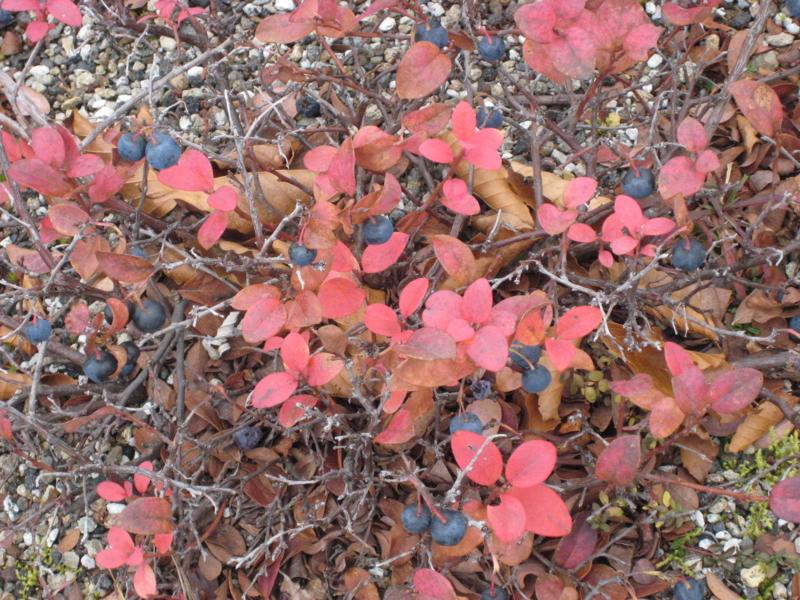 黒豆の木に成るのは浅間葡萄