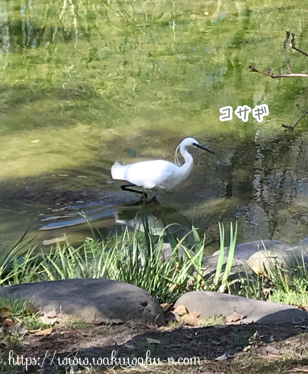 日比谷公園 コサギ 白い鳥 池 大きい 足が長い