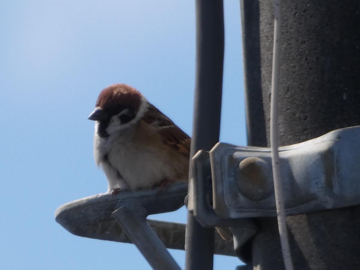 FZ85 野鳥 撮った写真 4K スズメ 可愛い