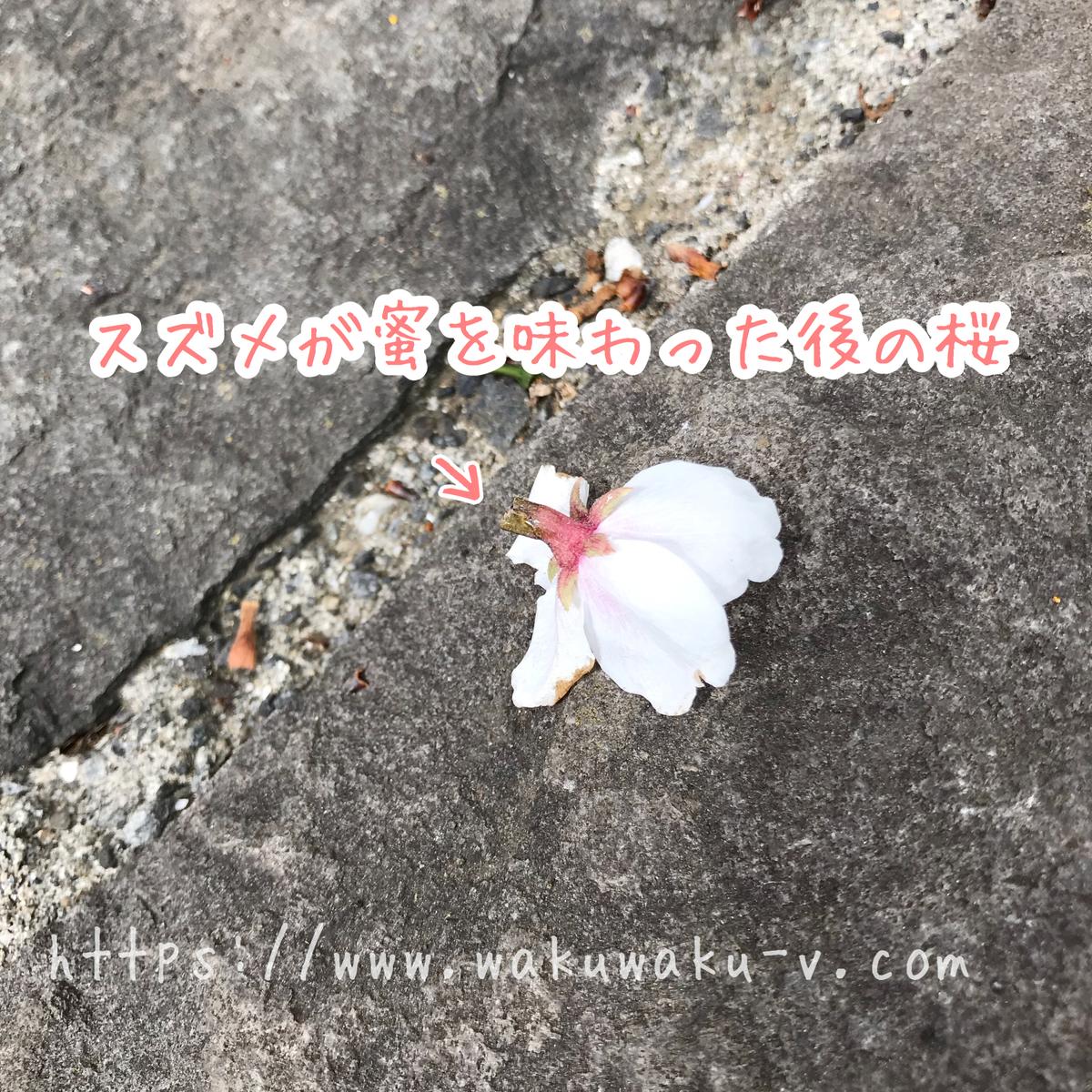 スズメ 桜