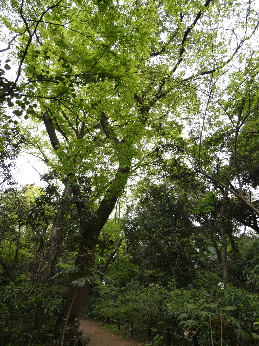 新緑 もみじ 目黒 自然教育園 野鳥 バードウォッチング