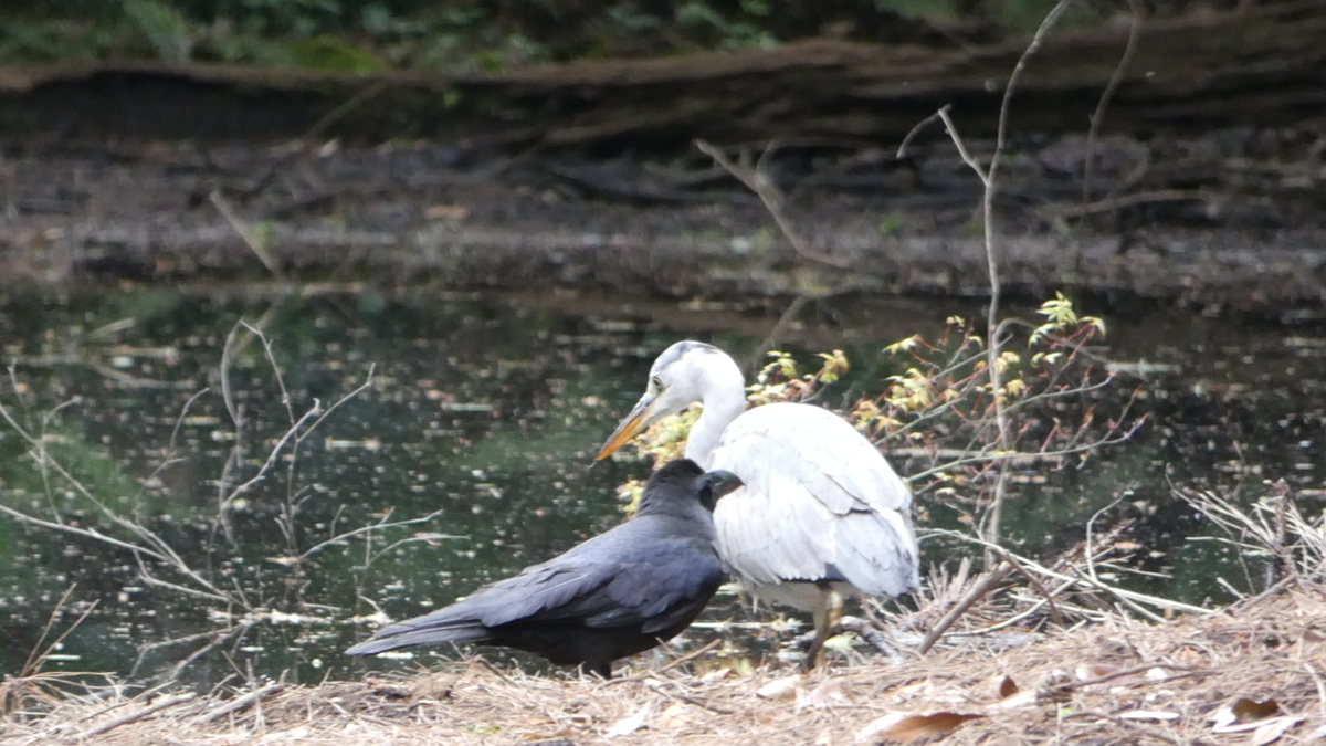 新緑 もみじ 目黒 自然教育園 野鳥 バードウォッチング しらさぎ