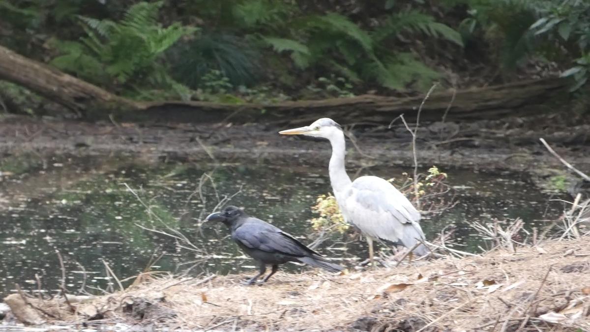 新緑 もみじ 目黒 自然教育園 野鳥 バードウォッチング  中鷺