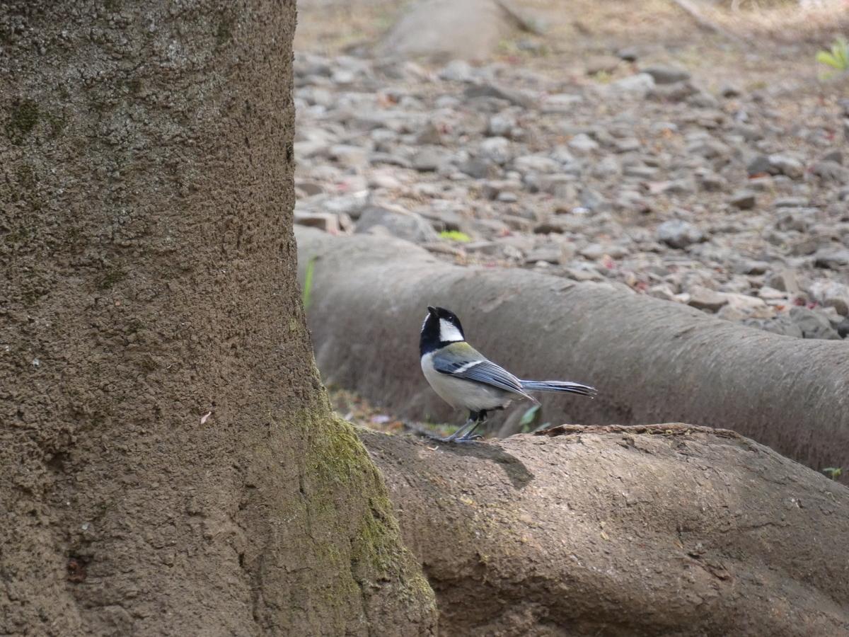 シジュウカラ 野鳥 FZ85 撮影写真 レビュー