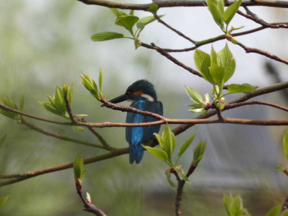 カワセミ 野鳥 FZ85 撮影写真 レビュー
