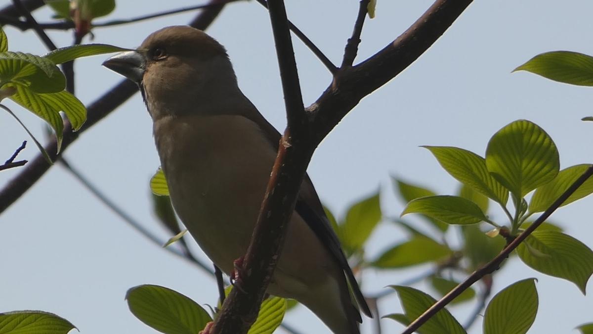 シメ 野鳥 FZ85 撮影写真 レビュー