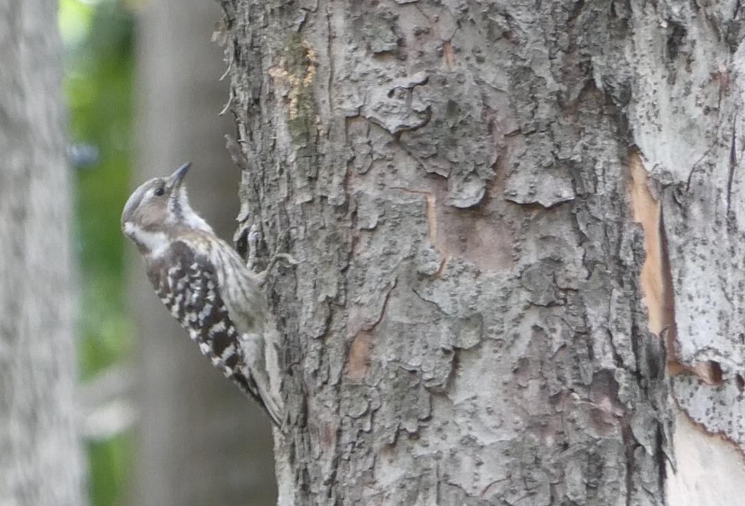 コゲラ 可愛すぎる シマシマ 木の幹 走る