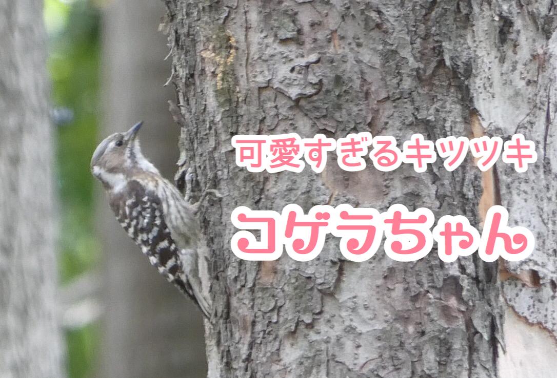 コゲラ 可愛い 野鳥 しましま 茶色 キツツキ 小さい 木の幹 走る