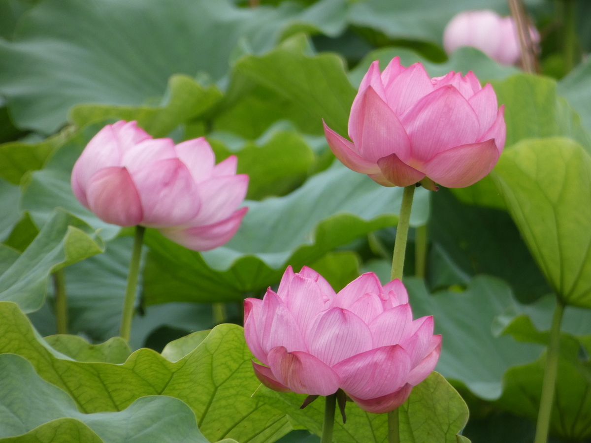 fz85 撮影 花 植物 レビュー 写真