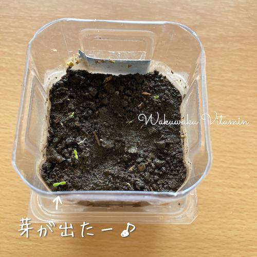 カモミールティー 発芽 芽が出る