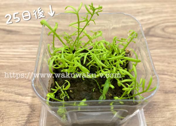 カモミールティー 芽が出た 発芽 種から