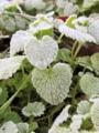 落ち葉についた霜