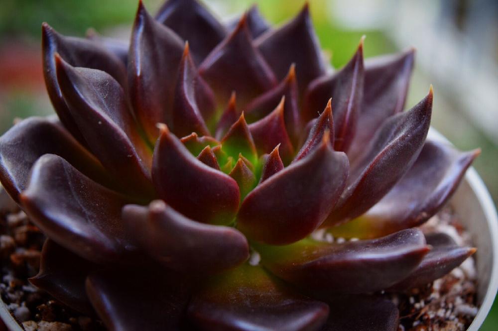 エケベリア 古紫の紅葉