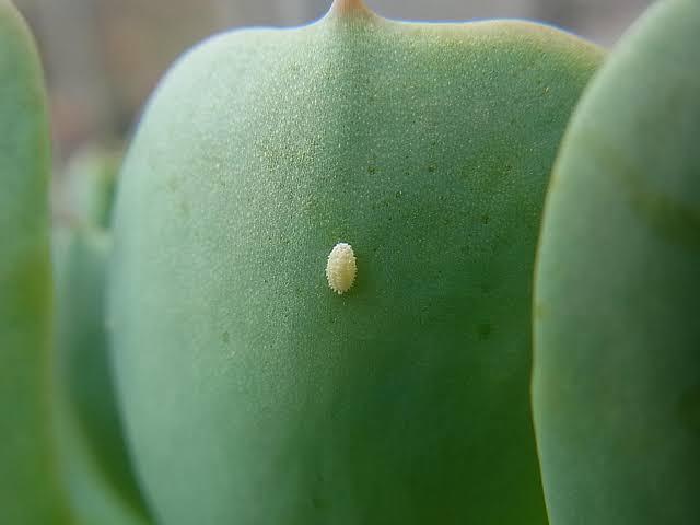 カイガラムシがついた多肉植物