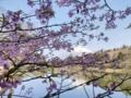 水久保の桜と富士山