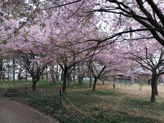 戸苅河津桜園