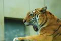 いしかわ動物園 トラ