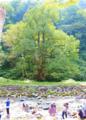 天然記念物 桂の木 瀬波川キャンプ場