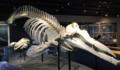 ツチクジラ 骨