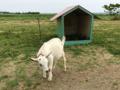 ホリ牧場 ヤギ